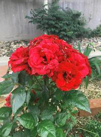 6月の薔薇★ここまで密にならなくても・・・ - 月夜飛行船2