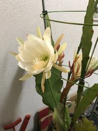 咲いてるやんか月下美人 - 音作衛門道楽日記