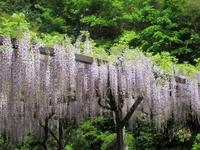 満開の密蔵院の藤 * 「ぶどう饅頭」取り寄せました♪ - ぴきょログ~軽井沢でぐーたら生活~