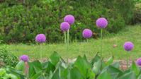 Allium giganteum アリウム・ギガンチウム - Blue Planet Cafe  青い地球を散歩する