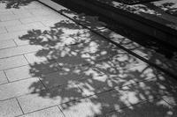 常緑を主張する早春の影 - Silver Oblivion