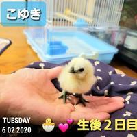 生後2日目の烏骨鶏 - 烏骨鶏かわいいブログ