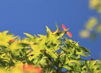 イロハモミジ - 都忘れと忘れな草