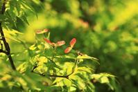 イロハモミジの種 - 都忘れと忘れな草