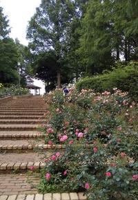 バラや菖蒲を見に行きました。 - しらゆり介護サービスblog