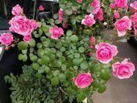 ポンポネッラとクレアオースチンと今日の庭 - natural garden~ shueの庭いじりと日々の覚書き