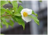 ナツツバキ - 花ありて 日々