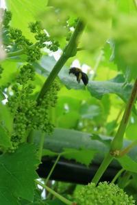 花の香りに誘われて - ~葡萄と田舎時間~ 西田葡萄園のブログ