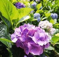 紫陽花の季節。 - PETIT POINT CINQ のプチコラム