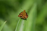 キマガラセセリ・・今年初 - 続・蝶と自然の物語