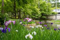 「鷹峯の花しょうぶと天神さんの花手水」 - ほぼ京都人の密やかな眺め Excite Blog版