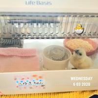 生後3日目の烏骨鶏 - 烏骨鶏かわいいブログ