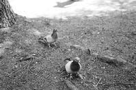 メスをかばう鳩 - 照片画廊