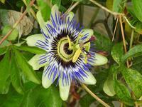 『時計草(トケイソウ)や更紗空木(サラサウツギ)の花等~』 - 自然風の自然風だより