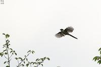 狙われていたオナガ - 野鳥公園
