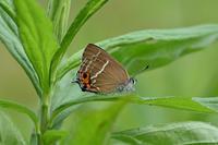 ミドリシジミハンノキ林を歩く - 蝶のいる風景blog