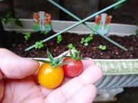 オレンジトマト 初収穫 - NATURALLY