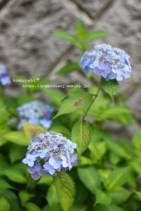 紫陽花 - komorebi*