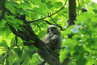もふもふエゾフクロウの巣立ちビナ - 今日の鳥さんⅡ