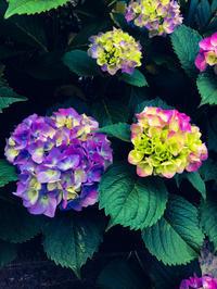 #1247 紫陽花 - ちょた☆グラフ