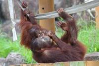 ロキ&チェリア~オランウータンファミリーの穏やかな日々(多摩動物公園 July 2019) - 続々・動物園ありマス。