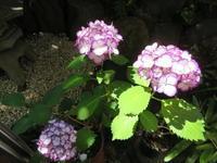 6月の花々を活ける - 活花生活(2)
