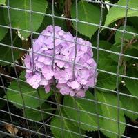 脱走を図る紫陽花がいました。 - ご無沙汰写真館