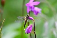 牧野植物園のヨツボシトンボByヒナ - 仲良し夫婦DE生き物ブログ