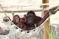 「キキ&ロキ」~オランウータンファミリーの日常(多摩動物公園 July 2019) - 続々・動物園ありマス。