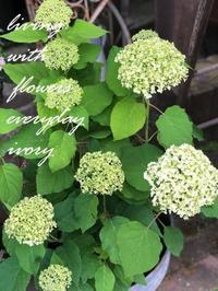 アナベル入荷! -  Flower and cafe 花空間 ivory (アイボリー)
