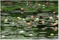 カラフルな睡蓮の花に癒されました\(^^@)/ - ハチミツの海を渡る風の音