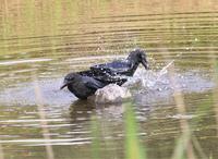 カラスの行水。 - さいたまの野鳥
