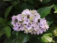 シャーロット王女 - だんご虫の花