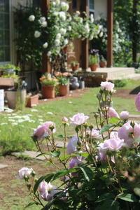 オリビアローズオースチンは早咲き♪ - ペコリの庭と時々パン