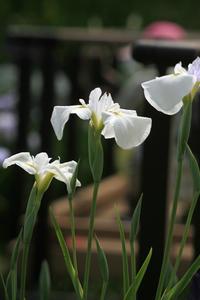 今日の堀切菖蒲園(午前9時) - meの写真はザンス