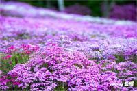 「芝桜」 - 藍の郷