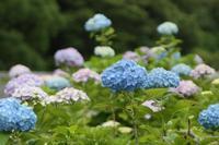 #紫陽花6月の花-2 - ナイン9の写真日記