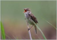 相変わらずのオオヨシキリ-2 - 野鳥の素顔 <野鳥と日々の出来事>