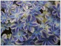 チョッくんちの紫陽花鑑賞、とっても綺麗だったけど、さくらと大は遠慮なく走ってて、こらお花踏むな~(´A`。)グスン - さくらおばちゃんの趣味悠遊