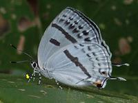 ミズイロオナガシジミ初見 - 秩父の蝶