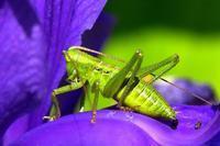 2020年初夏の日光紀行(6)・・カキツバタの花びらに集うヤブキリの幼虫♪・・田母沢御用邸記念公園 - 『私のデジタル写真眼』