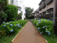 緑道の紫陽花と猫電車 - マイニチ★コバッケン