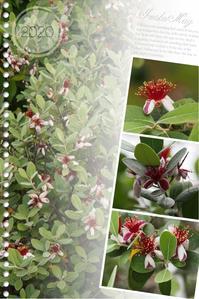 フェイジョア花盛り - ひとりあそび