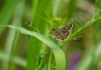 地味だが可愛らしい弾丸蝶in2020.05.15~06.06埼玉県低地のセセリチョウ - ヒメオオの寄り道