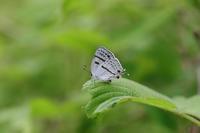 ミズイロオナガシジミ他 - Lycaenidaeの蝶鳥撮影日記