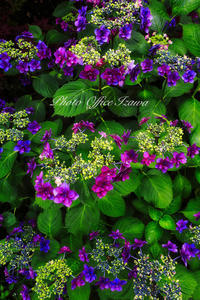 自宅の紫陽花がほぼ満開になりました - カメラマンイザワの拝啓/撮らせて頂きます!