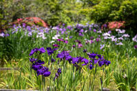 「ツキとショウブとあじさいの庭」 - ほぼ京都人の密やかな眺め Excite Blog版
