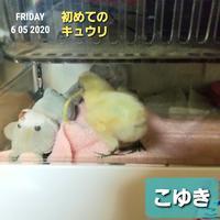 烏骨鶏のヒヨコ生後5・6日目 - 烏骨鶏かわいいブログ