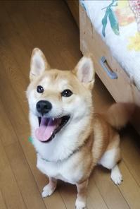 待て!柴犬茸蔵くんの芸 - Handmade でささやかな幸せのある暮らし