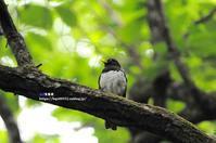 新緑の中のクロツグミ - azure 自然散策 ~自然・季節・野鳥~